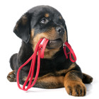 Rottie pup w red leash canstockphoto16406906 850x620