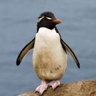 Gorfou sauteur   rockhopper penguin 1