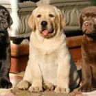 Cachorro labrador 4
